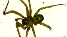 False Widow Spider sightings in Bowerhill