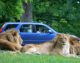 Longleat Virtual Safari Attracts  Record Online Audience